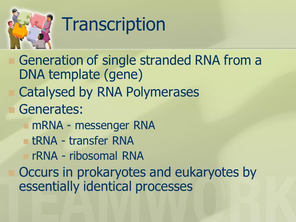 Transcription Generation of single stranded RNA from a DNA template (gene) Catalysed by RNA Polymerases Generates: mRNA - messenger RNA tRNA - transfer RNA rRNA - ribosomal RNA Occurs in prokaryotes and eukaryotes by essentially identical processes