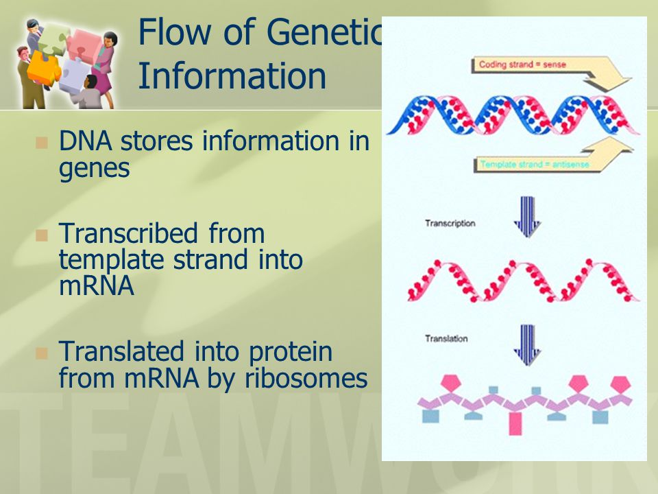 Flow of Genetic Information DNA stores information in genes Transcribed from template strand into mRNA Translated into protein from mRNA by ribosomes