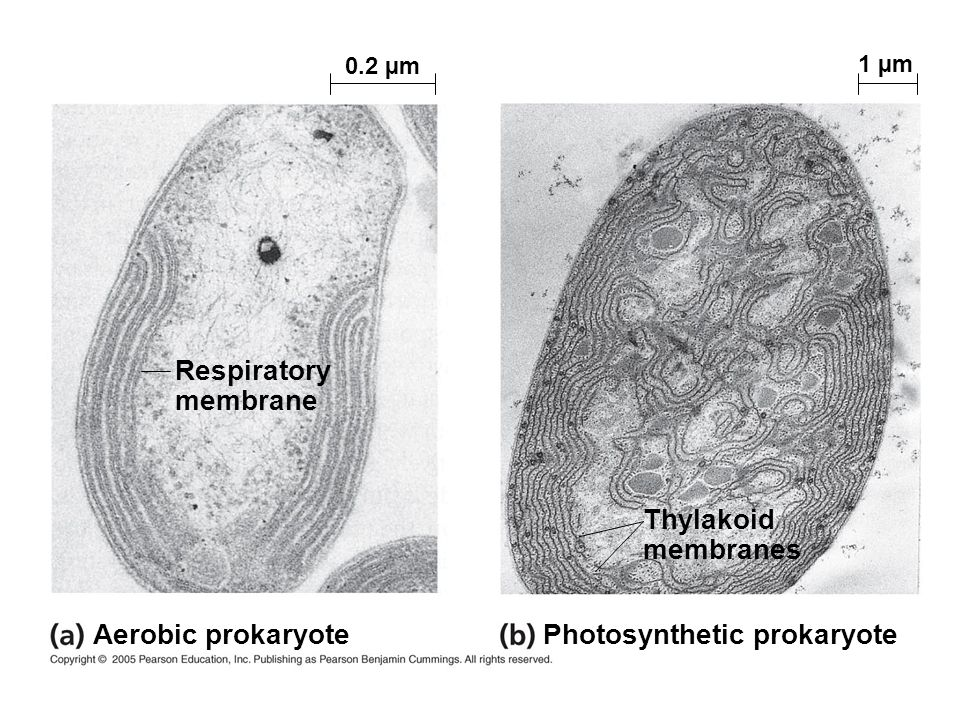 Thylakoid membranes Respiratory membrane Photosynthetic prokaryote Aerobic prokaryote 0.2 µm 1 µm
