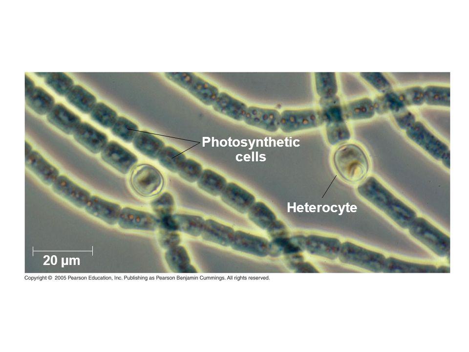 Heterocyte Photosynthetic cells 20 µm