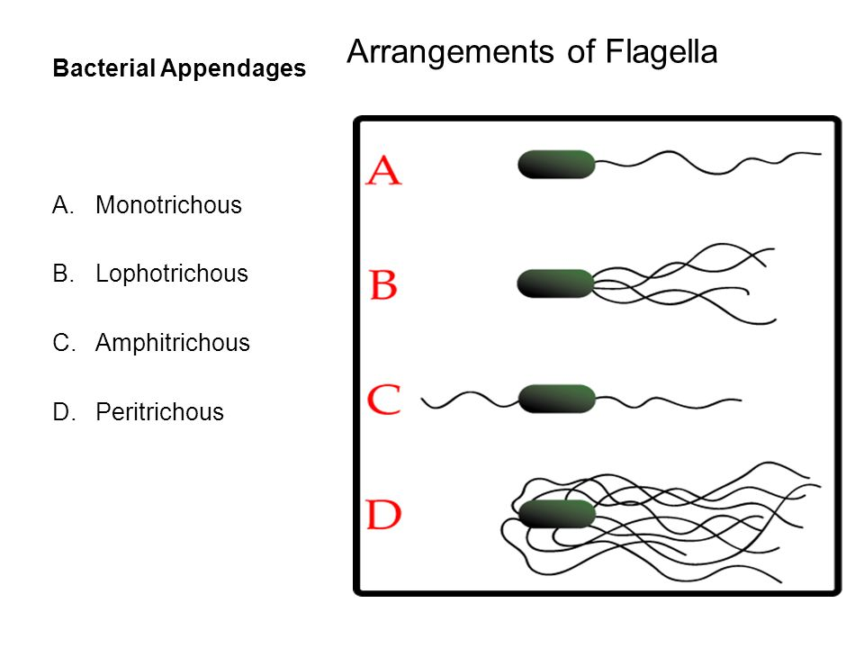 Bacterial Appendages Arrangements of Flagella A.Monotrichous B.Lophotrichous C.Amphitrichous D.Peritrichous