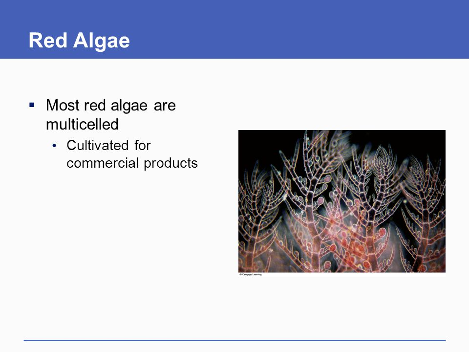 Red Algae  Most red algae are multicelled Cultivated for commercial products