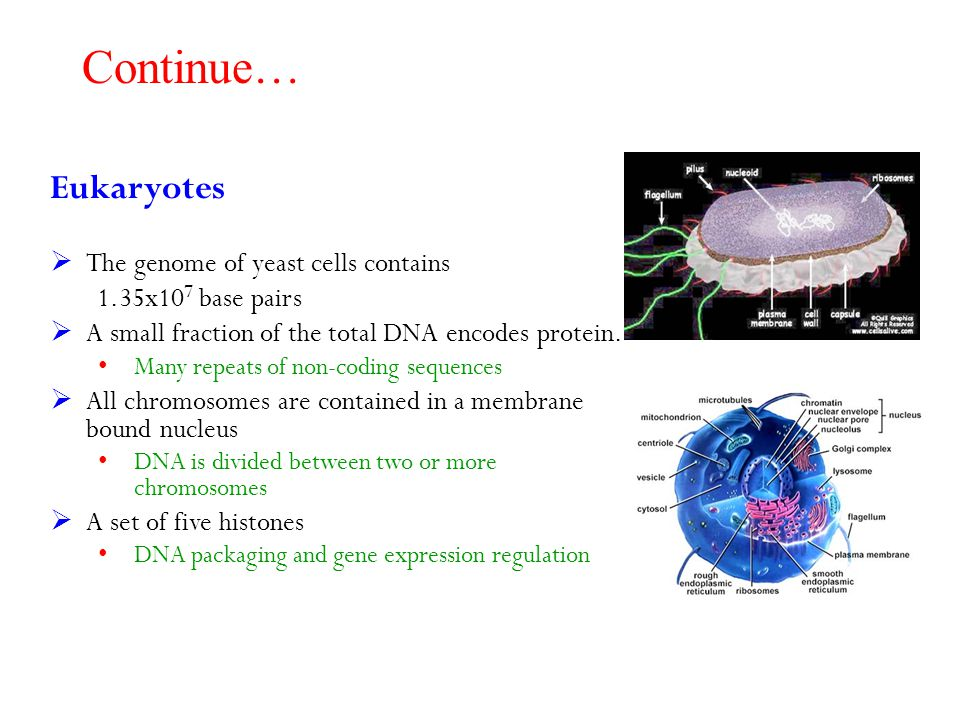 Continue… Eukaryotes  The genome of yeast cells contains 1.35x10 7 base pairs  A small fraction of the total DNA encodes protein. Many repeats of no