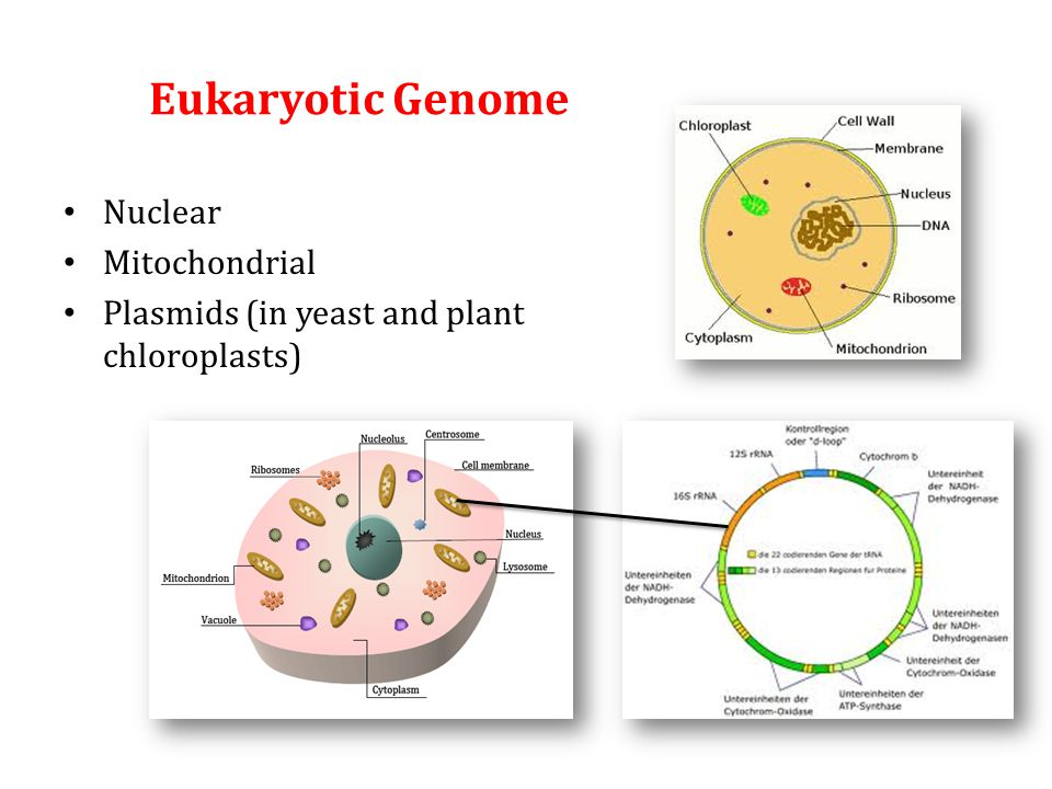 Eukaryotic Genome Nuclear Mitochondrial Plasmids (in yeast and plant chloroplasts)
