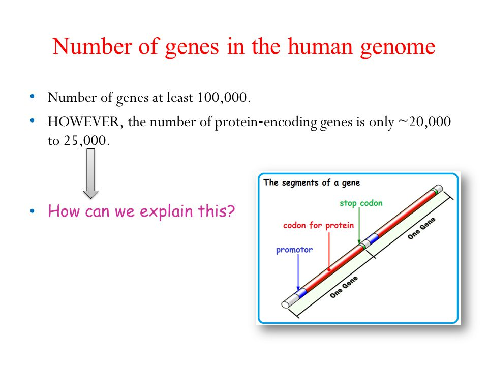 Number of genes in the human genome Number of genes at least 100,000. HOWEVER, the number of protein ‐ encoding genes is only ~20,000 to 25,000. How c