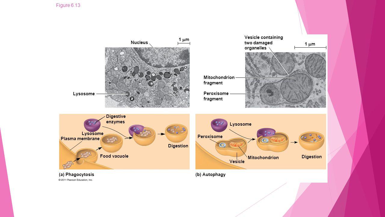 Figure 6.13a Nucleus Lysosome 1  m Digestive enzymes Digestion Food vacuole Lysosome Plasma membrane (a) Phagocytosis