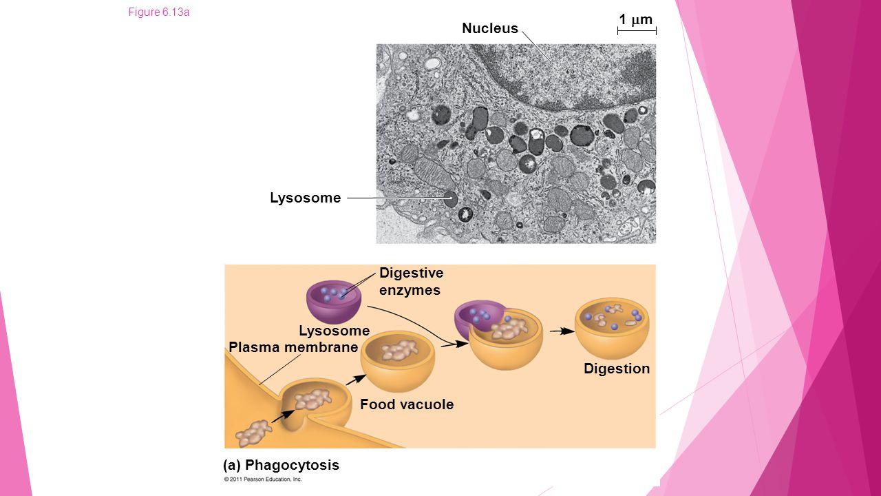 Figure 6.13aa Nucleus Lysosome 1  m