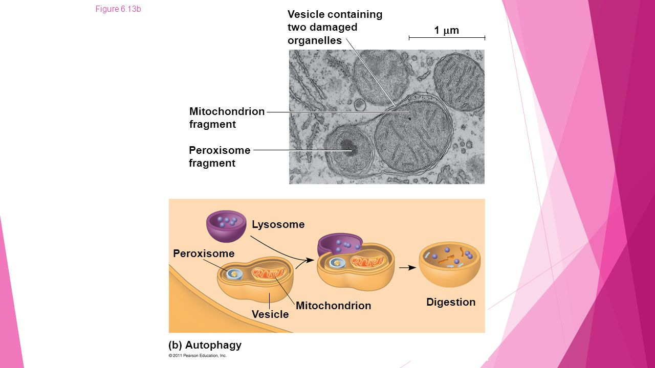 Figure 6.13bb Vesicle containing two damaged organelles 1  m Mitochondrion fragment Peroxisome fragment