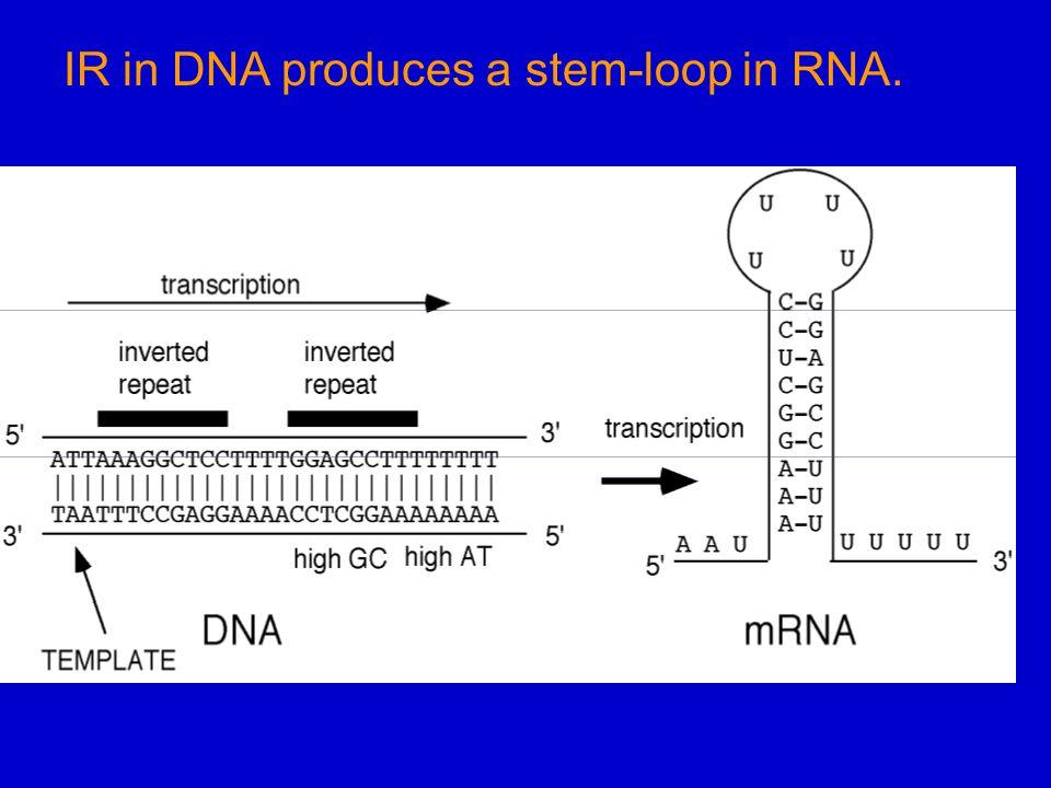 IR in DNA produces a stem-loop in RNA.