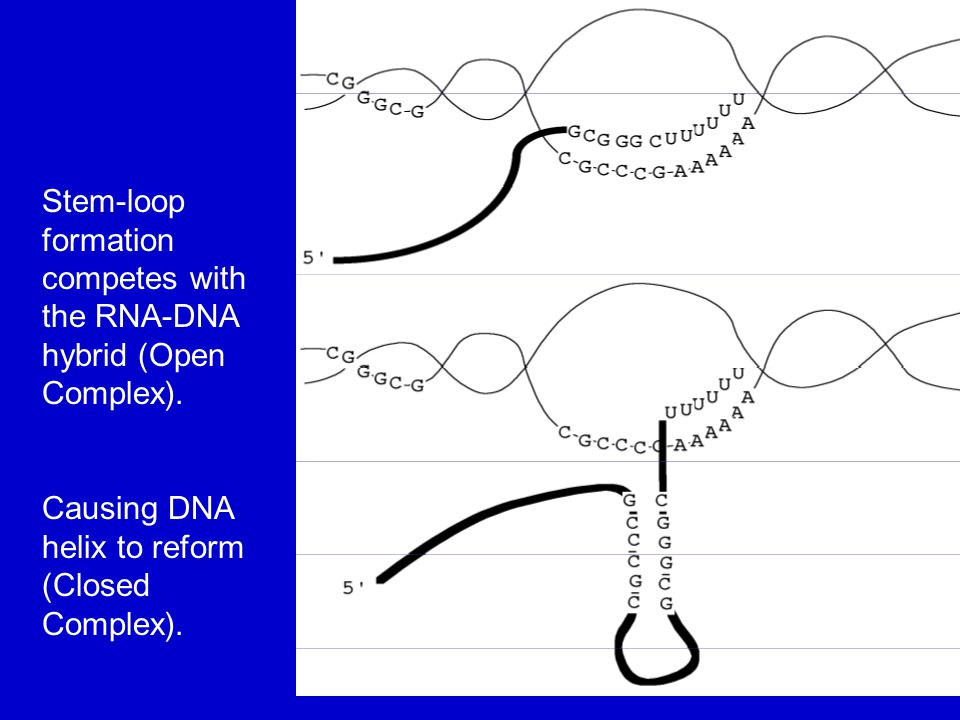 Stem-loop formation competes with the RNA-DNA hybrid (Open Complex).