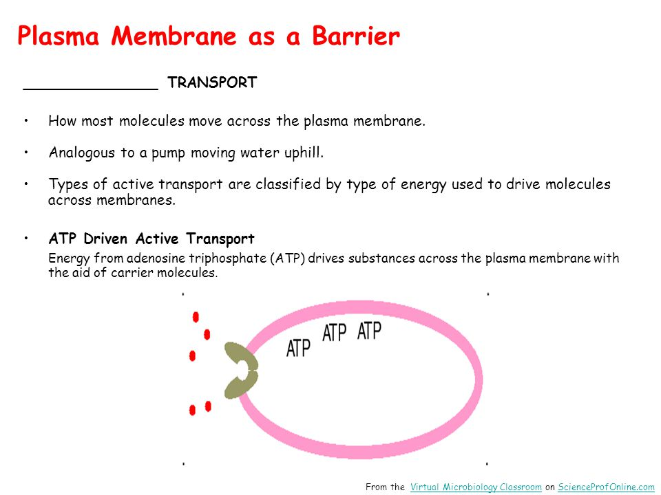 Plasma Membrane as a Barrier _______________ TRANSPORT How most molecules move across the plasma membrane.