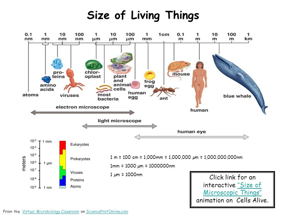 Size of Living Things 1 m = 100 cm = 1,000mm = 1,000,000 µm = 1,000,000,000nm 1mm = 1000 µm = 1000000nm 1 µm = 1000nm Click link for an interactive Size of Microscopic Things animation on Cells Alive. Size of Microscopic Things From the Virtual Microbiology Classroom on ScienceProfOnline.comVirtual Microbiology ClassroomScienceProfOnline.com