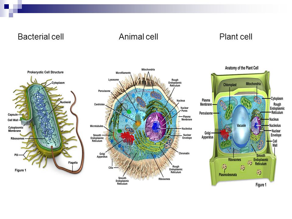 Unique Anatomy Of The Animal Cell Festooning - Anatomy And ...