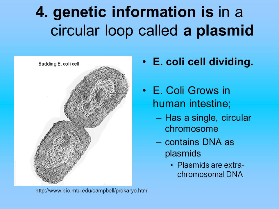 4. genetic information is in a circular loop called a plasmid E. coli cell dividing. E. Coli Grows in human intestine; –Has a single, circular chromos