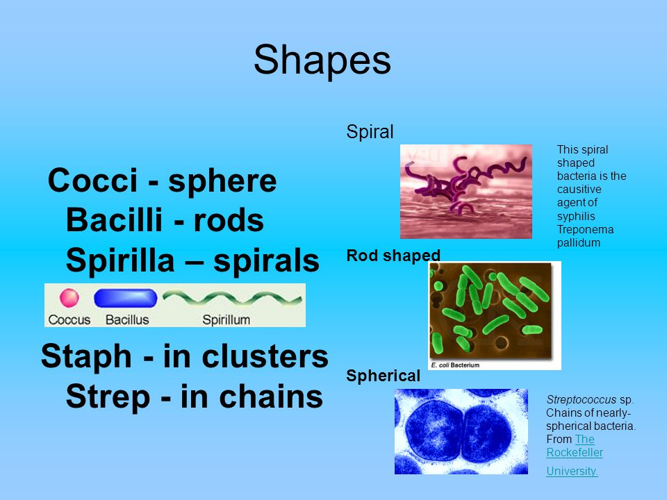 Shapes Cocci - sphere Bacilli - rods Spirilla – spirals Staph - in clusters Strep - in chains Spiral Rod shaped Spherical Streptococcus sp.