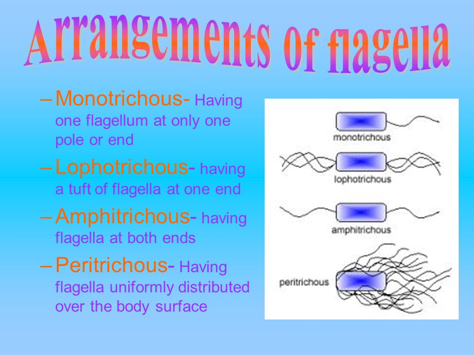 –Monotrichous- Having one flagellum at only one pole or end –Lophotrichous- having a tuft of flagella at one end –Amphitrichous- having flagella at both ends –Peritrichous- Having flagella uniformly distributed over the body surface