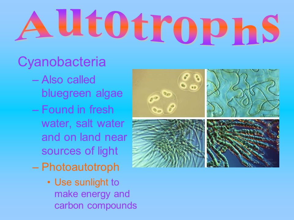 Cyanobacteria –Also called bluegreen algae –Found in fresh water, salt water and on land near sources of light –Photoautotroph Use sunlight to make energy and carbon compounds