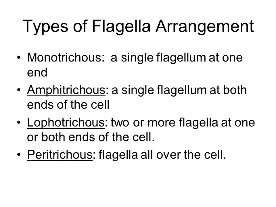 Types of Flagella Arrangement Monotrichous: a single flagellum at one end Amphitrichous: a single flagellum at both ends of the cell Lophotrichous: tw