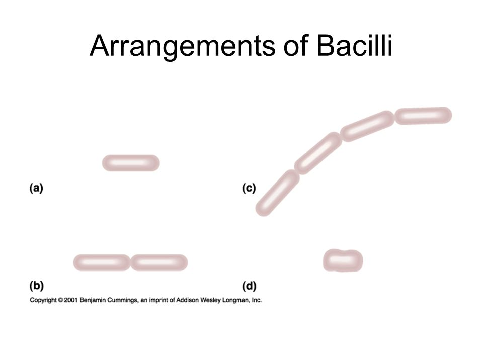 Amphitrichous (a single flagellum at both ends of the cell)