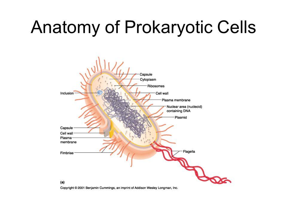 Anatomy of Prokaryotic Cells