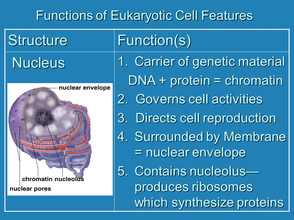 Functions of Eukaryotic Cell Features StructureFunction(s) Nucleus Nucleus 1.Carrier of genetic material DNA + protein = chromatin DNA + protein = chr