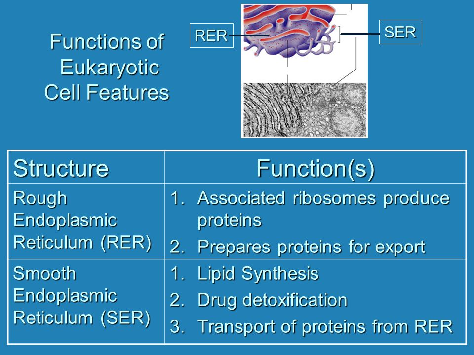 Functions of Eukaryotic Cell Features StructureFunction(s) Rough Endoplasmic Reticulum (RER) 1.Associated ribosomes produce proteins 2.Prepares protei