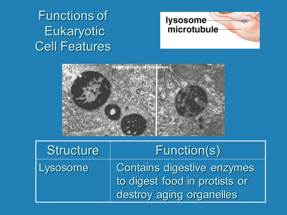 Functions of Eukaryotic Cell Features StructureFunction(s) Lysosome Contains digestive enzymes to digest food in protists or destroy aging organelles