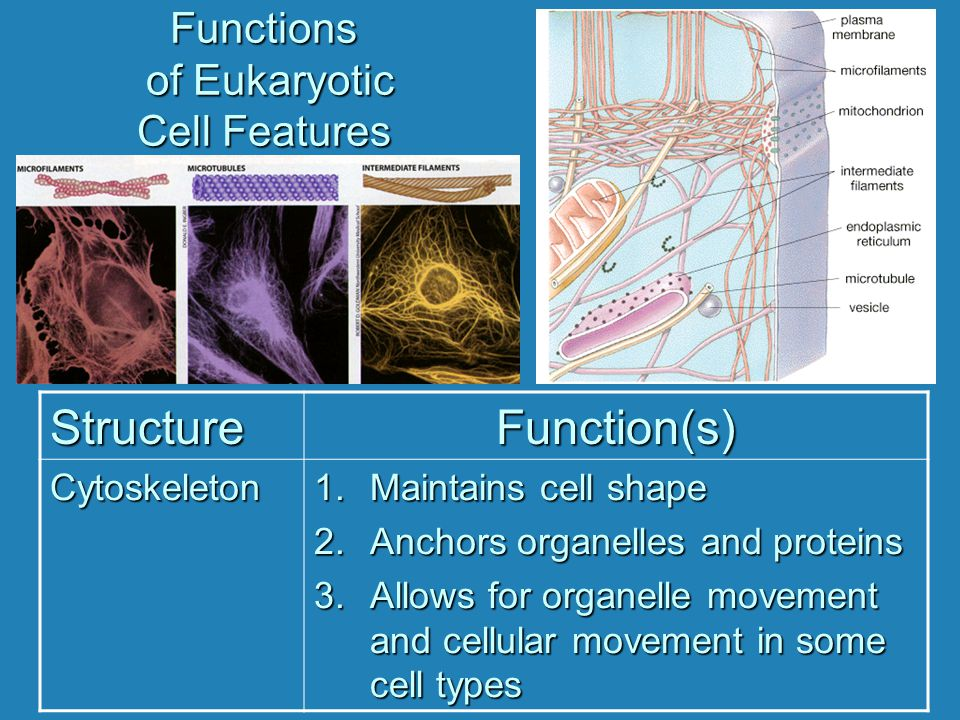 Functions of Eukaryotic Cell Features StructureFunction(s) Cytoskeleton 1.Maintains cell shape 2.Anchors organelles and proteins 3.Allows for organell