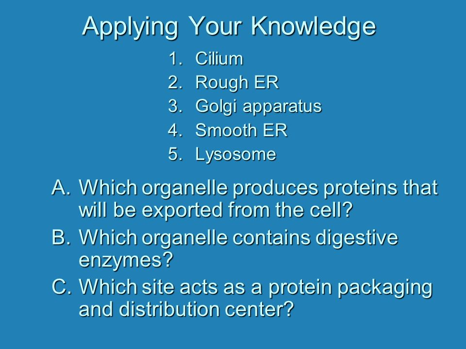 Applying Your Knowledge A.Which organelle produces proteins that will be exported from the cell? B.Which organelle contains digestive enzymes? C.Which