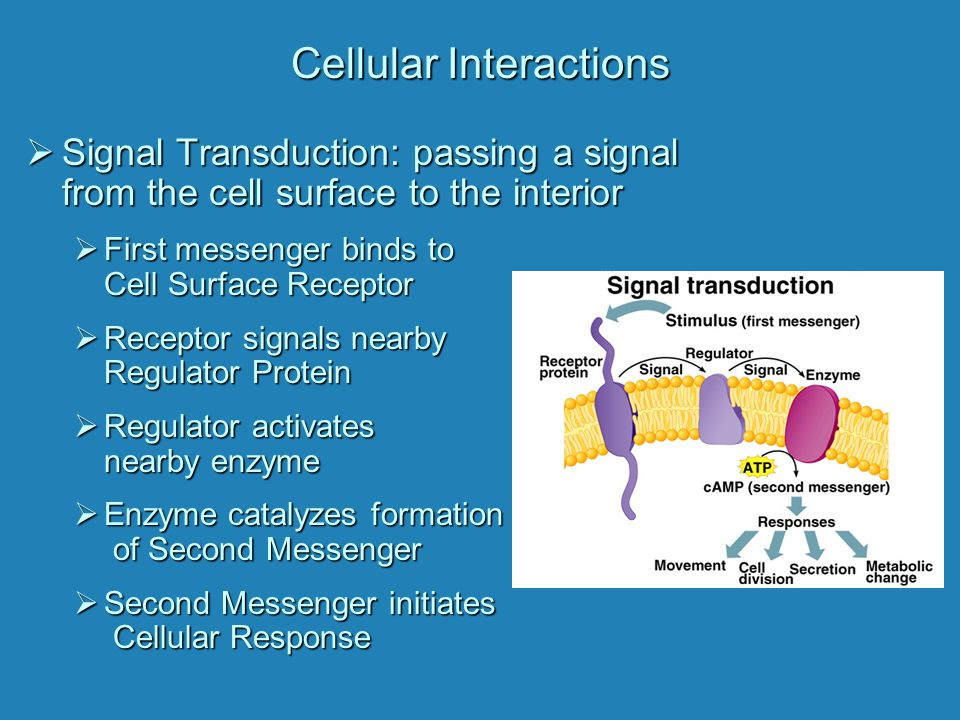 Cellular Interactions  Signal Transduction: passing a signal from the cell surface to the interior  First messenger binds to Cell Surface Receptor 