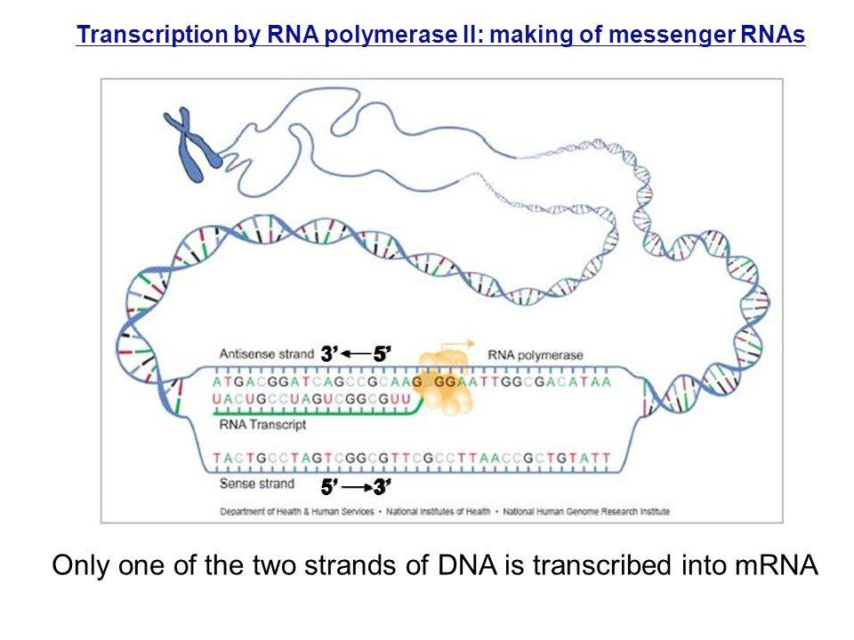 Transcription by RNA polymerase II: making of messenger RNAs Only one of the two strands of DNA is transcribed into mRNA 3' 5' 5' 3'