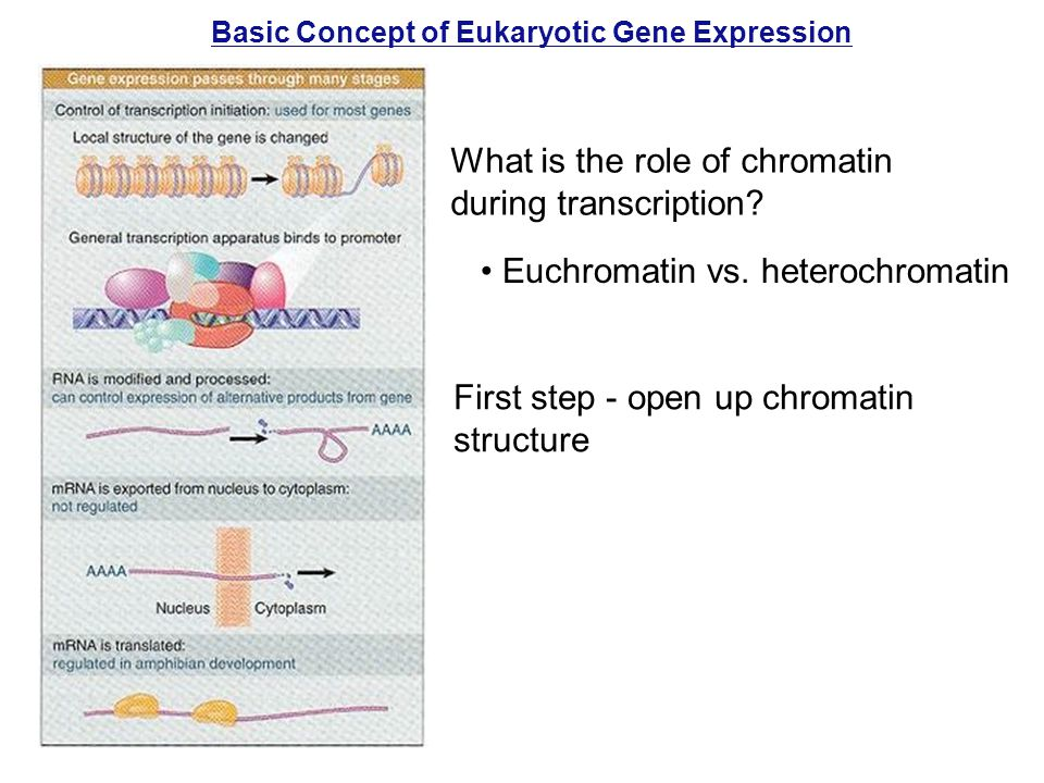 Basic Concept of Eukaryotic Gene Expression What is the role of chromatin during transcription.