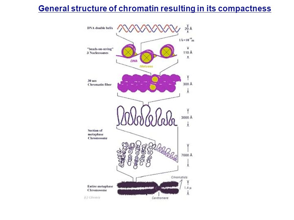 General structure of chromatin resulting in its compactness
