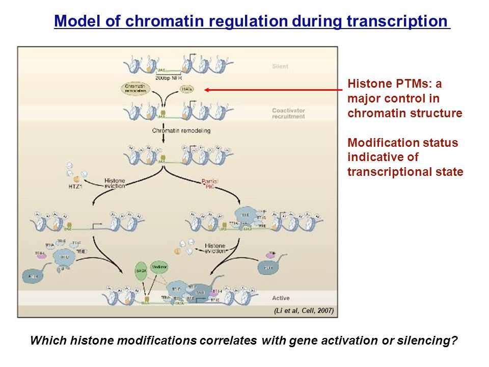 Model of chromatin regulation during transcription Histone PTMs: a major control in chromatin structure Modification status indicative of transcriptional state Which histone modifications correlates with gene activation or silencing.