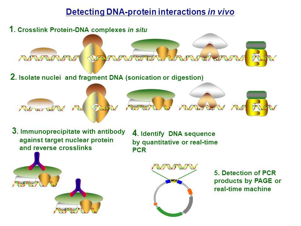 1. Crosslink Protein-DNA complexes in situ 2.