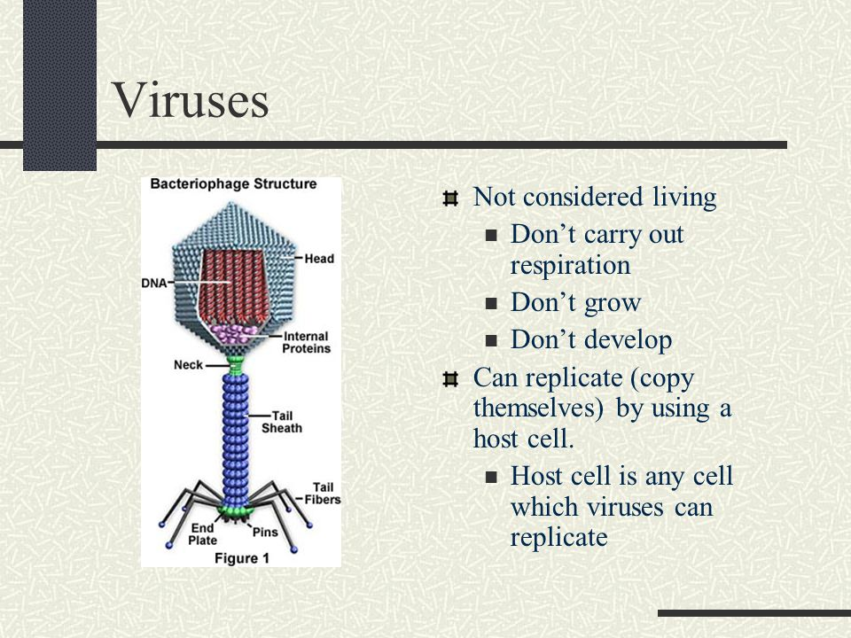 Viruses Not considered living Don't carry out respiration Don't grow Don't develop Can replicate (copy themselves) by using a host cell.