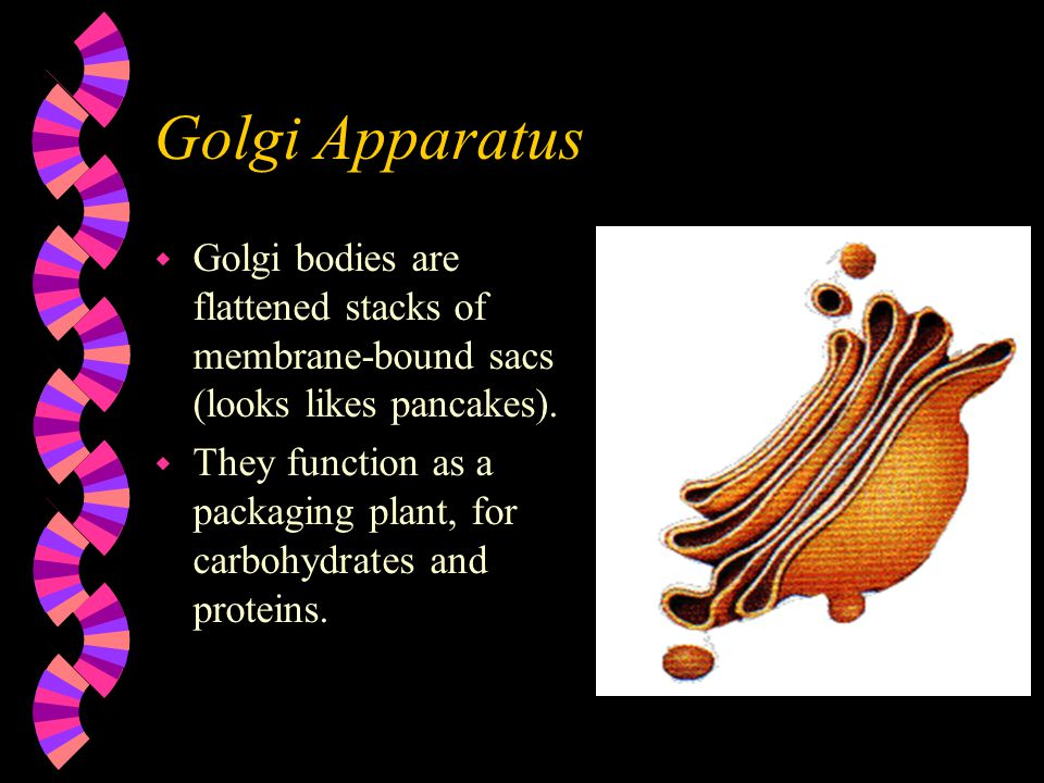 Golgi Apparatus w Golgi bodies are flattened stacks of membrane-bound sacs (looks likes pancakes). w They function as a packaging plant, for carbohydr