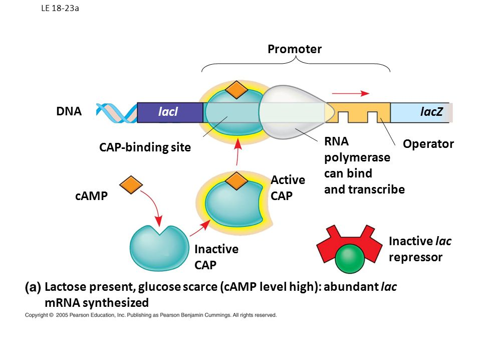 LE 18-23a DNA cAMP lacl CAP-binding site Promoter Active CAP Inactive CAP RNA polymerase can bind and transcribe Operator lacZ Inactive lac repressor