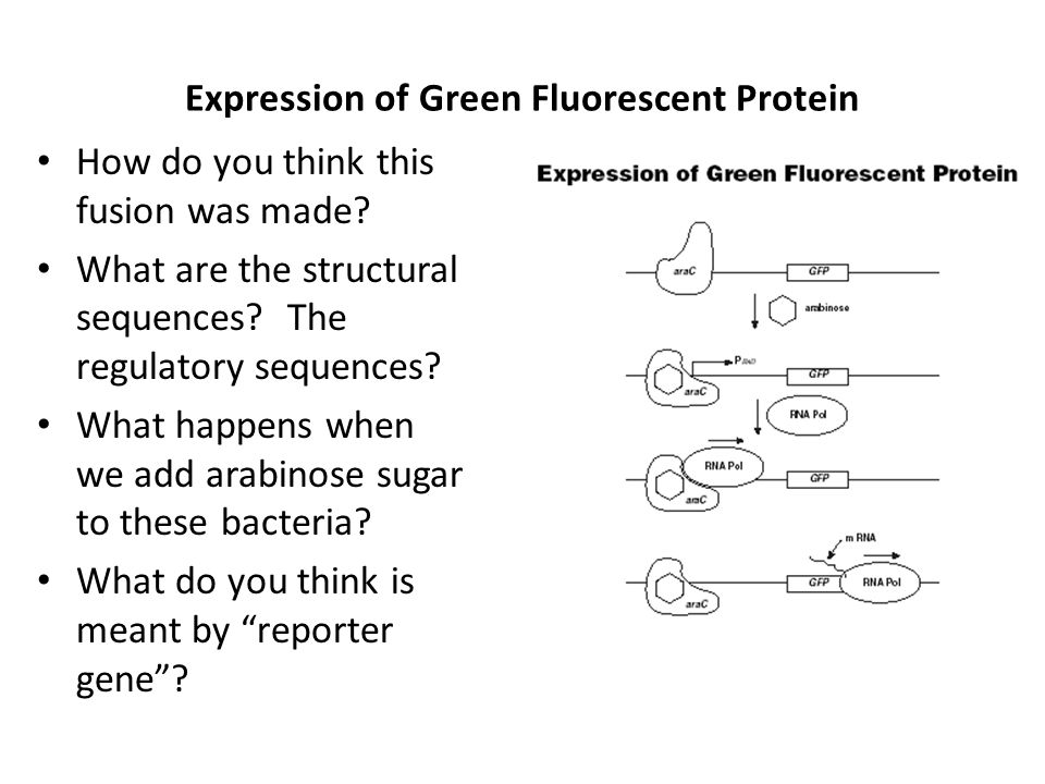 Expression of Green Fluorescent Protein How do you think this fusion was made? What are the structural sequences? The regulatory sequences? What happe