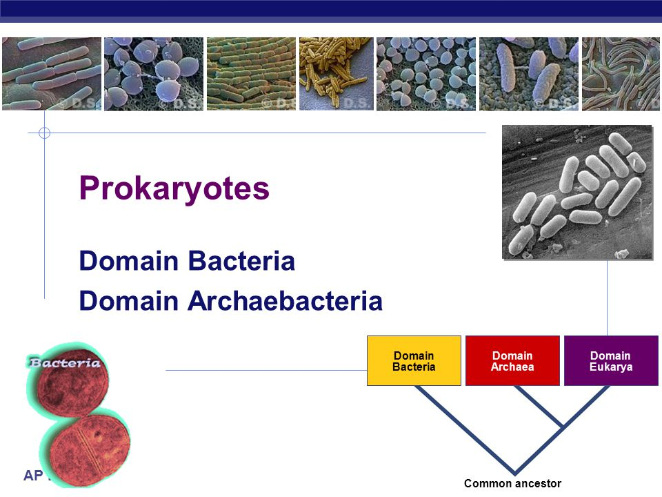 AP Biology 2007-2008 Prokaryotes Domain Bacteria Domain Archaebacteria Domain Bacteria Domain Archaea Domain Eukarya Common ancestor
