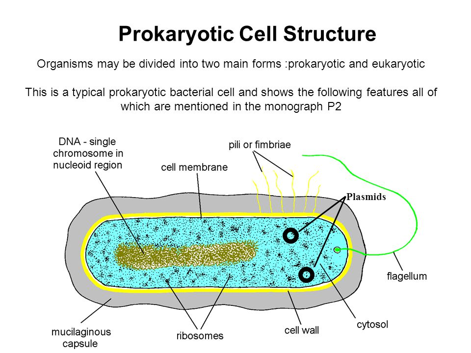 Organisms may be divided into two main forms :prokaryotic and eukaryotic This is a typical prokaryotic bacterial cell and shows the following features all of which are mentioned in the monograph P2 Prokaryotic Cell Structure Plasmids