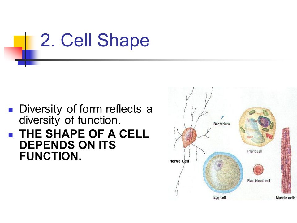 2. Cell Shape Diversity of form reflects a diversity of function. THE SHAPE OF A CELL DEPENDS ON ITS FUNCTION.