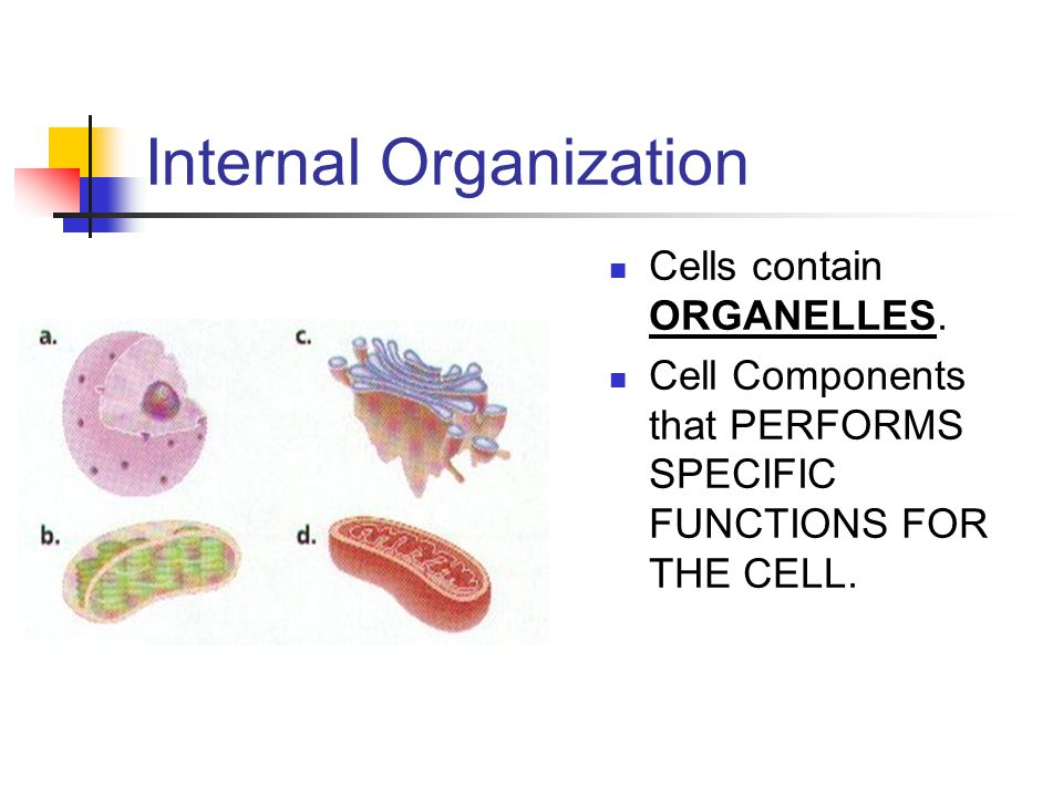 Internal Organization Cells contain ORGANELLES. Cell Components that PERFORMS SPECIFIC FUNCTIONS FOR THE CELL.
