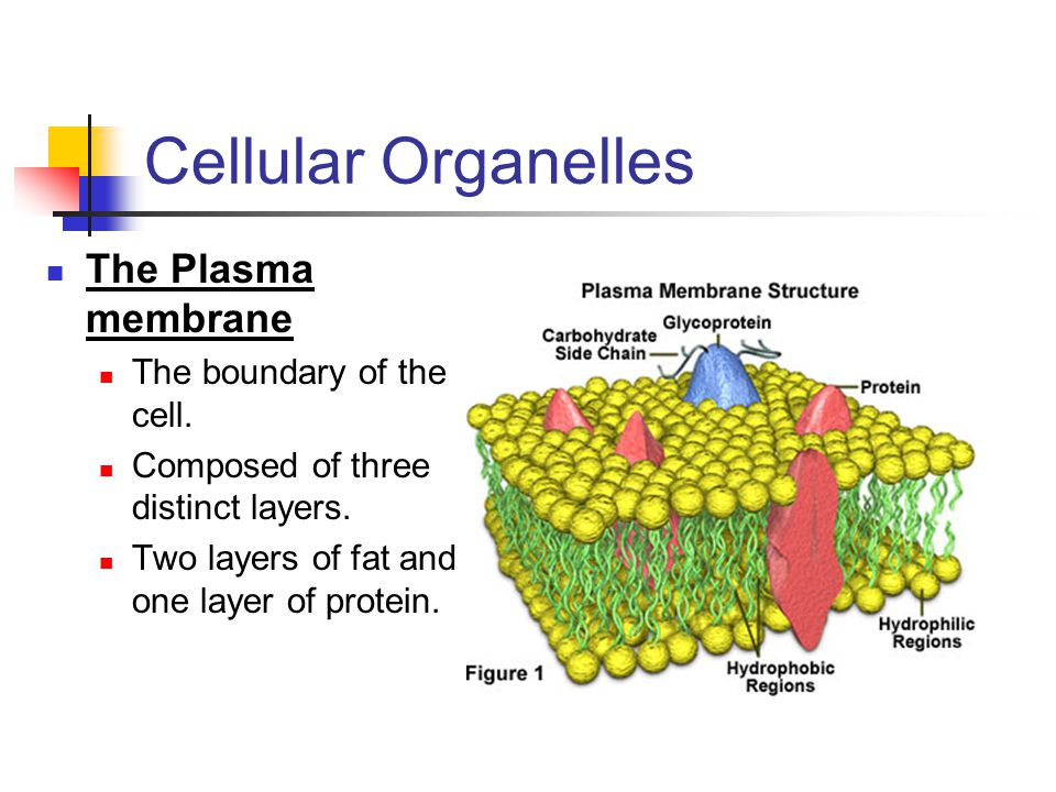 Cellular Organelles The Plasma membrane The boundary of the cell. Composed of three distinct layers. Two layers of fat and one layer of protein.
