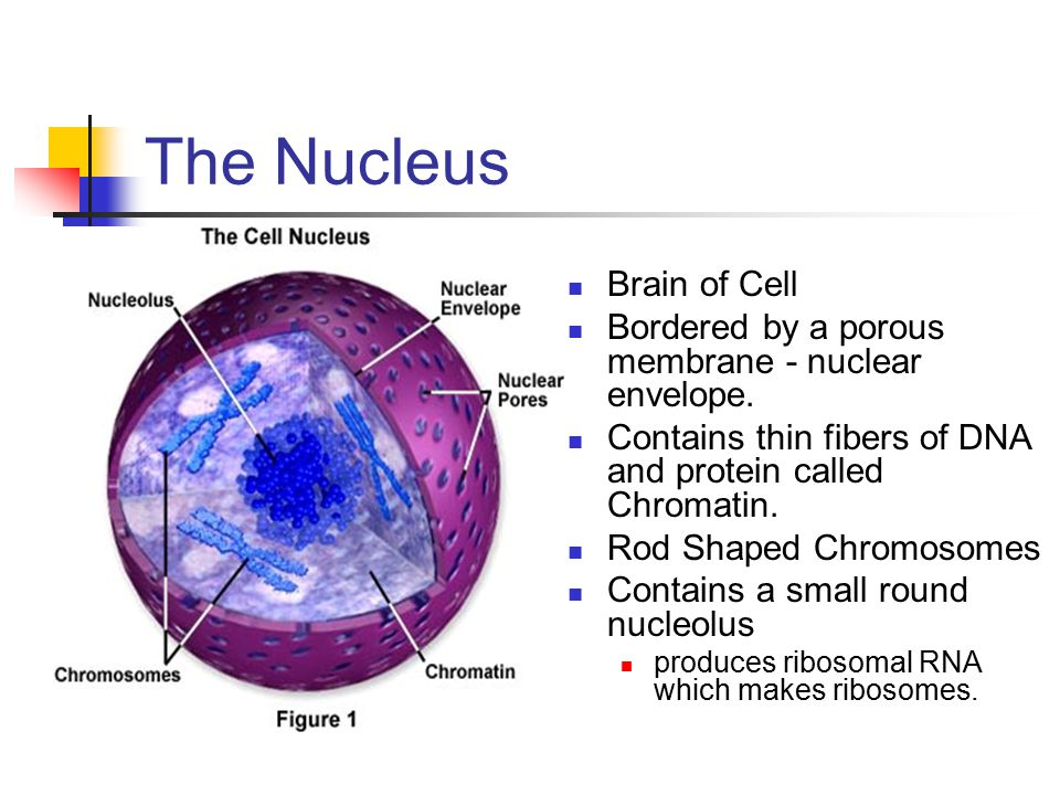 The Nucleus Brain of Cell Bordered by a porous membrane - nuclear envelope. Contains thin fibers of DNA and protein called Chromatin. Rod Shaped Chrom