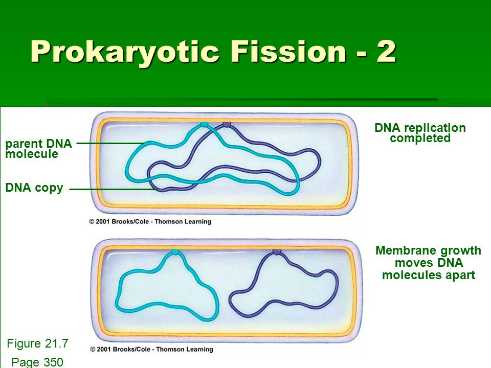 Prokaryotic Fission - 2 parent DNA molecule DNA copy DNA replication completed Membrane growth moves DNA molecules apart Figure 21.7 Page 350