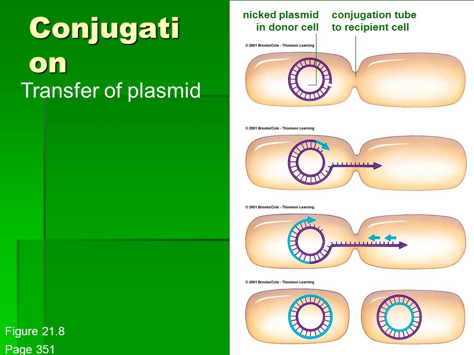 Conjugati on nicked plasmid in donor cell conjugation tube to recipient cell Transfer of plasmid Figure 21.8 Page 351