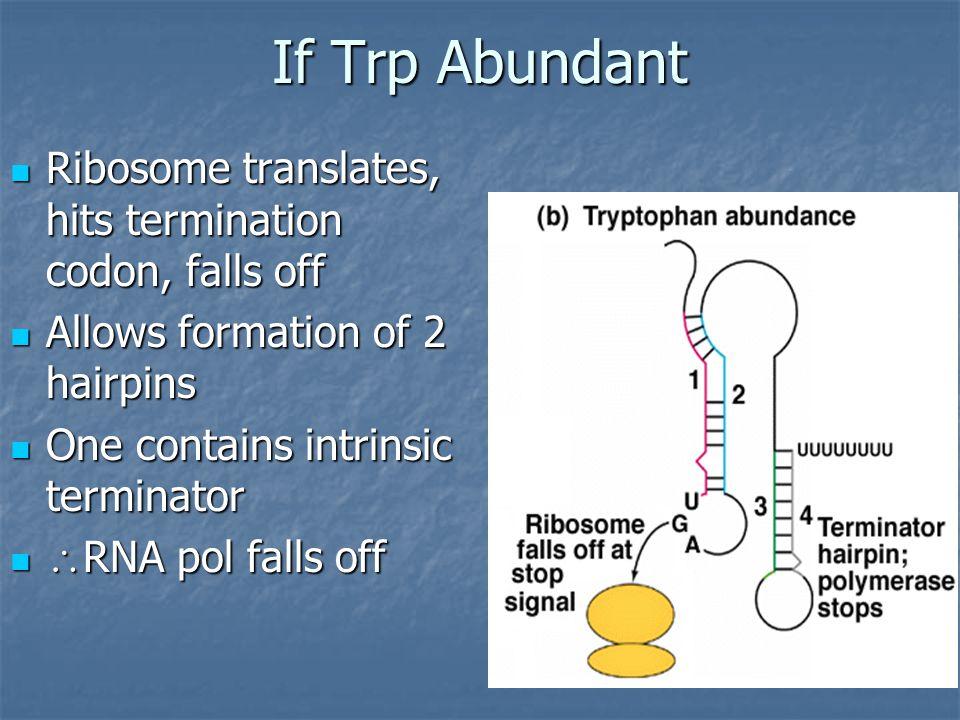 If Trp Abundant Ribosome translates, hits termination codon, falls off Ribosome translates, hits termination codon, falls off Allows formation of 2 ha