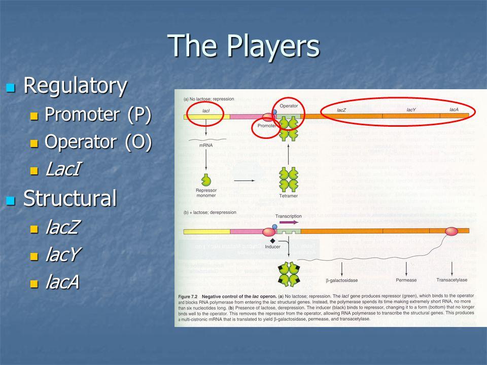 The Players Regulatory Regulatory Promoter (P) Promoter (P) Operator (O) Operator (O) LacI LacI Structural Structural lacZ lacZ lacY lacY lacA lacA
