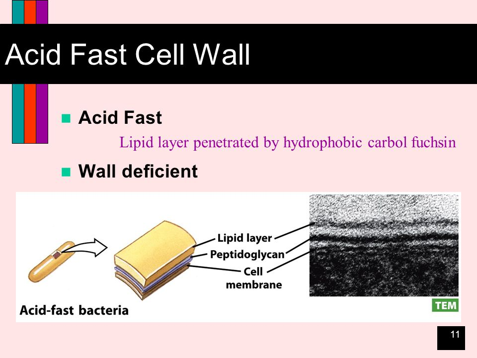 11 Acid Fast Cell Wall Acid Fast Wall deficient Lipid layer penetrated by hydrophobic carbol fuchsin